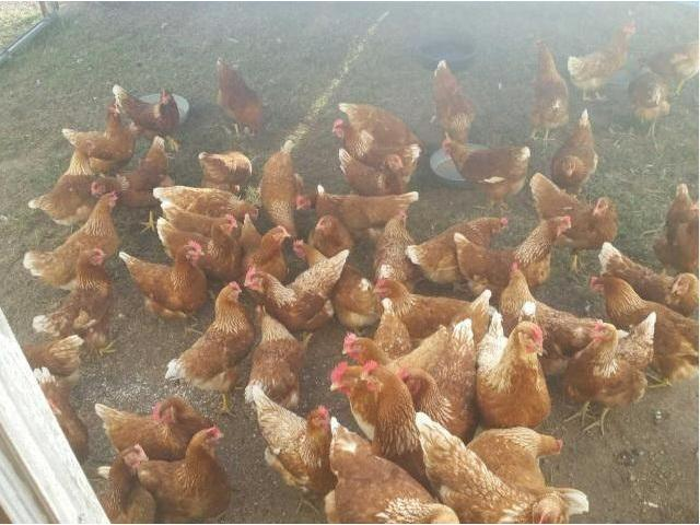 Point of Lay hens for Sale
