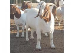 sheep an Goat available