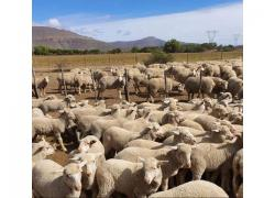BOER GOATS & SHEEP SALES