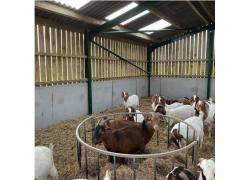 PURE BREED BOER GOATS SALES