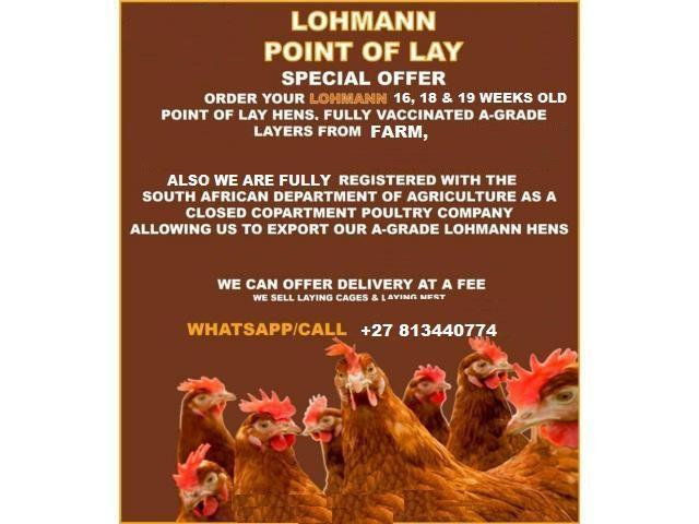 Lohmann Brown Layer hens