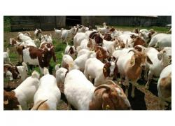 Pure Breed Boer Goats For Sale