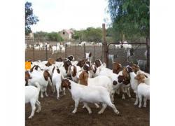 Livestock, Poultry sale