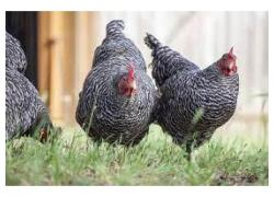 Plymouth Layers Rock chickens