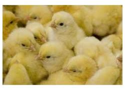 Day Old Chicks sales
