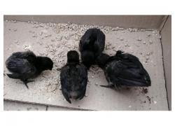 Ayam Cemani Chicks