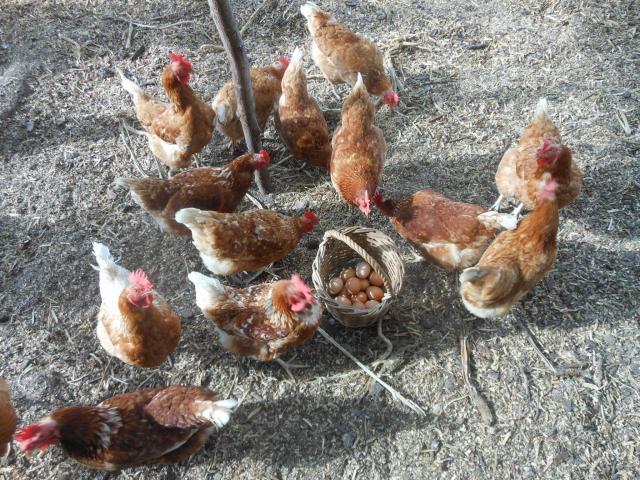 Lohman Brown Hens & Chicks