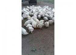 Live Broiler Chickens For Sale