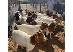 Goat, sheep, cows available
