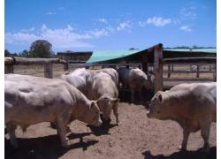 Charolais Bulls for sale