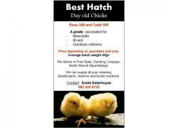 Ross 308 & Cobb 500 Chicks