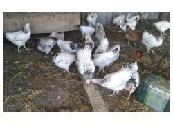 Boshveder and Sussex chickens