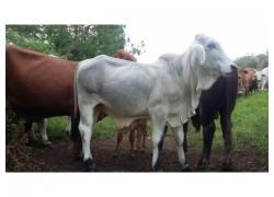 Bull Brahman