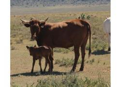 Nguni Cattle from R6000
