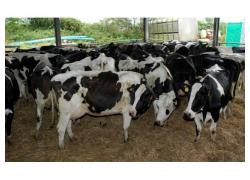 sell Dairy cattle