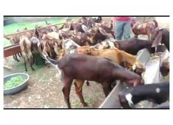 Siroh farming goats for sale