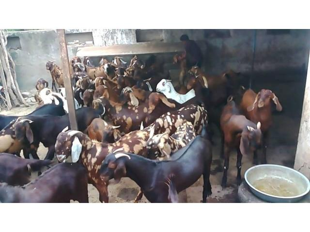 sheeps and goats for sale