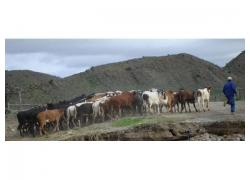 Cattle / Bull Cows for sale!!
