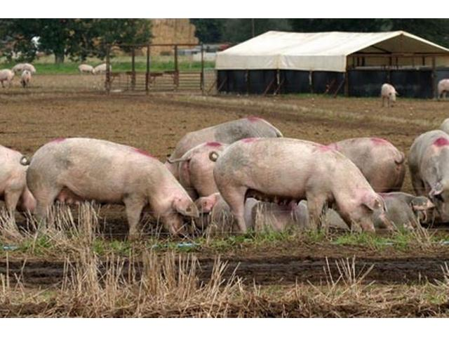 White Landrace Pigs for sale!!