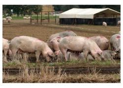White Large Pigs for sale!!
