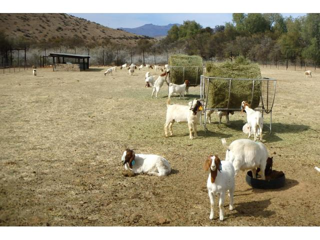 Boer Goats For sale!!