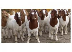 Boer Goats and livestock