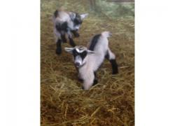 cameroon dwarf goats