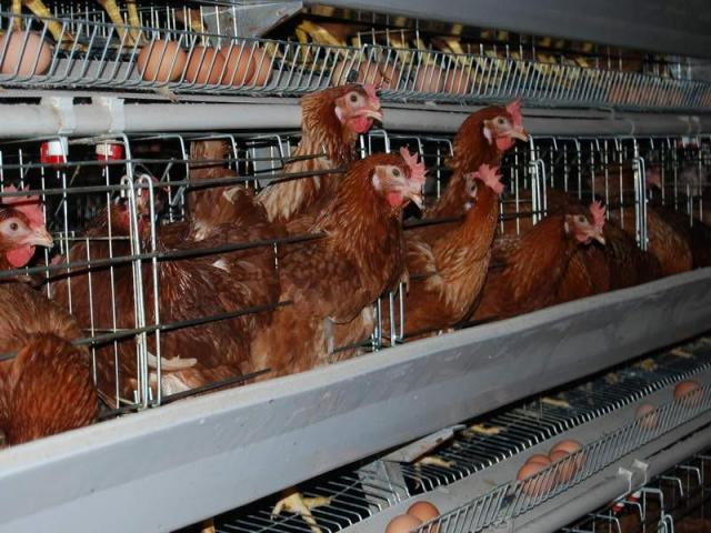 Broilers and laying chickens