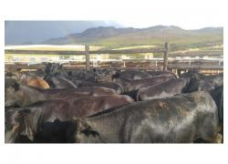 22 Black Angus Heifers