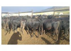 22 Black Angus Heifers