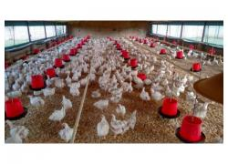 Female Broiler Chickens