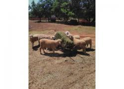Merino lambs for Sale
