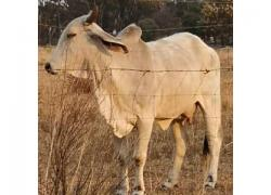 BRAHMAN CATTLE FOR SALE