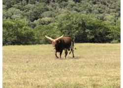 Pure Ankole Bulls