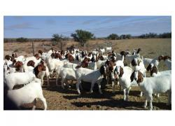 sheeps,goats and cattles