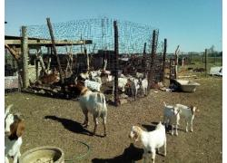 Goats and sheeps for sale