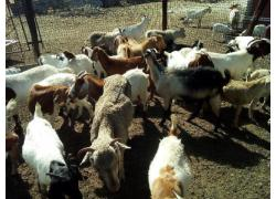Goats and sheeps and cattle