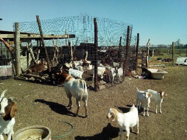 Goats , sheeps ,cattle  ,lamb