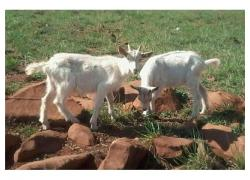 Goats Rams for sale Livestock