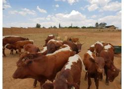 Pinzgauer Cattle For Sale