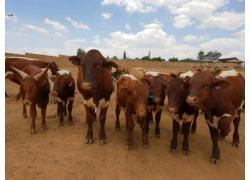 Pinzgauer Cattle For Sale