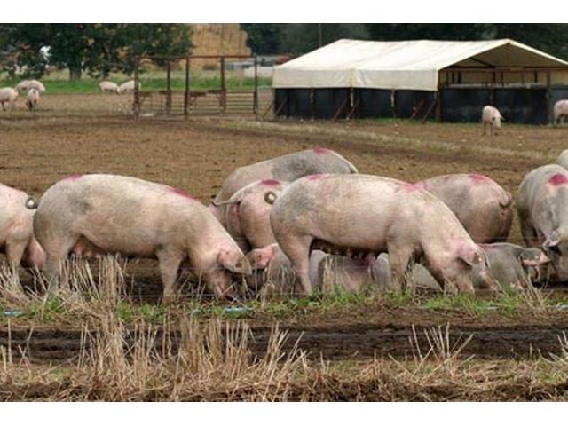 White Landrace Pigs For Sale