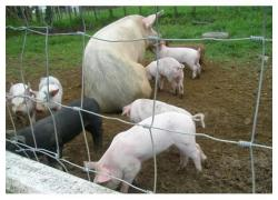 Porkers, Weaners And Gilts