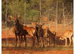 SABLE COWS WITH CALVES