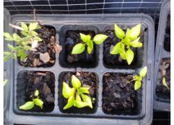 Seedlings bulk supply