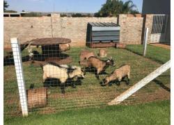 Dwerg Bokkies/Dwarf Goats