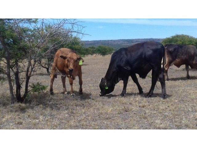 6 Month Bull Calf
