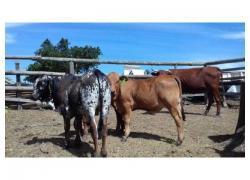 Nguni Cross Boran Bull calf