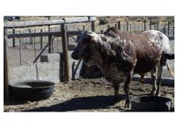 Nguni Bul For Sale