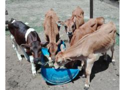 Dairy bull calves